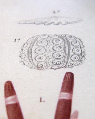 miniature 8 pour le portfolio oursin